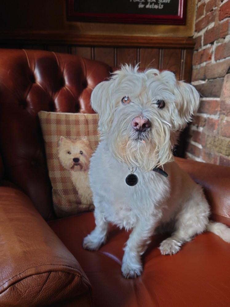 Ernie on a wingback chair with a Westie cushion at The Black Horse Inn, Thurnham