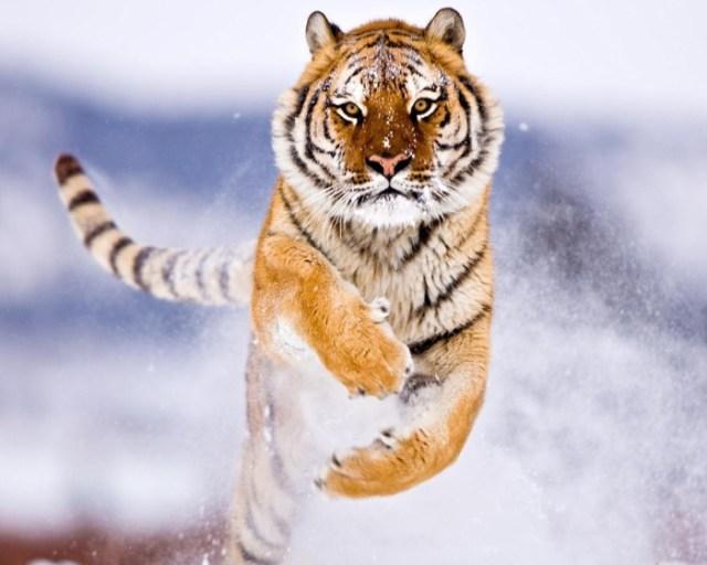 amur_tiger_in_snow-normal5.4
