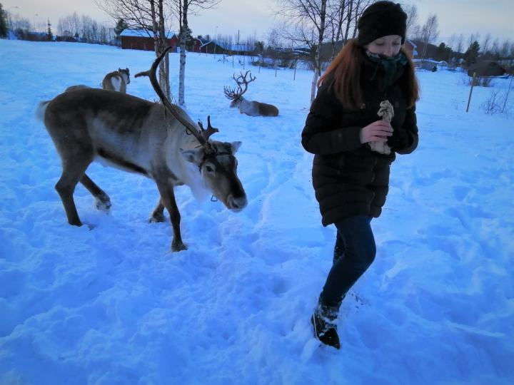 The scarily enthusiastic reindeer of Kiruna