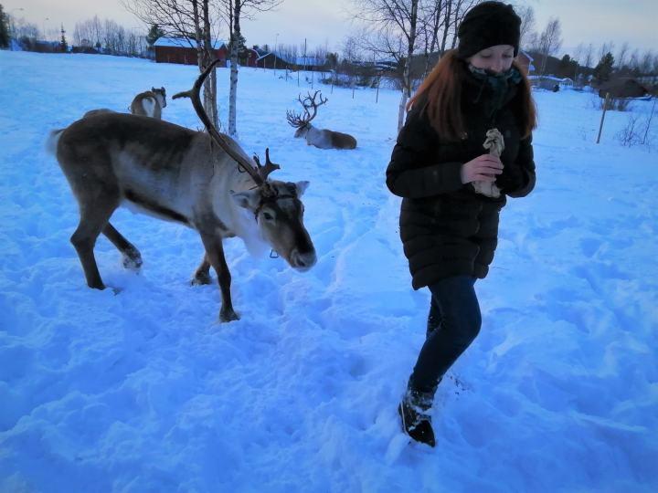 reindeer kiruna