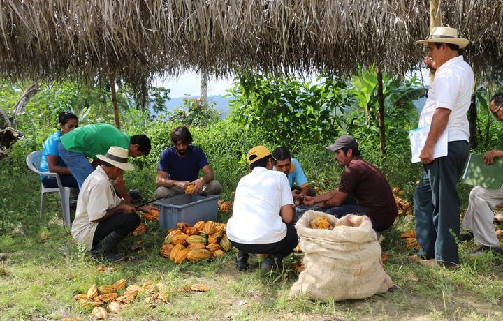 Boeren plukken de cacaovruchten om ze vervolgens te laten verwerken op de To'ak boerderij