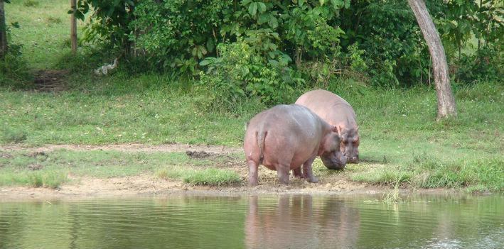 hippos710