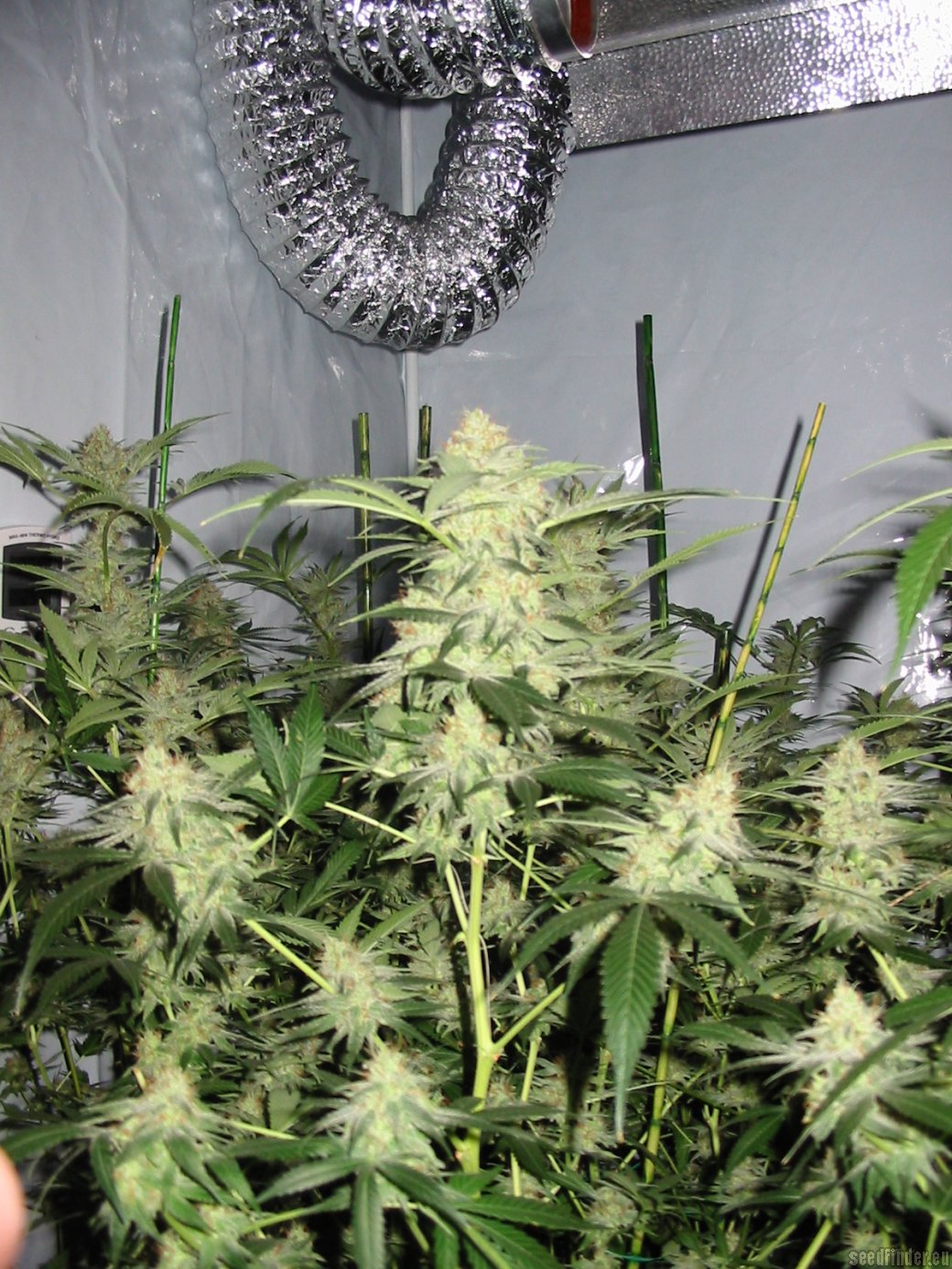 White Satin by Mandala Seeds  SeedFinder  Info de