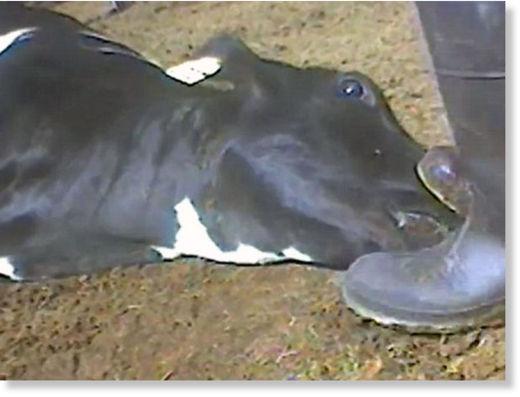 maltrato al ganado2