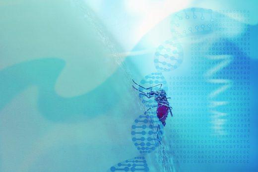 mosquitos genéricamente modificados