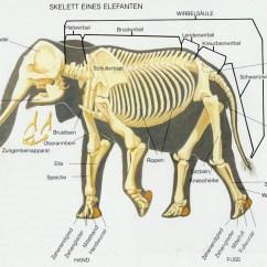 Cat Neck Muscles Diagram Gretsch Electromatic G5120 Wiring Anatomía De Los Elefantes – Upali.ch