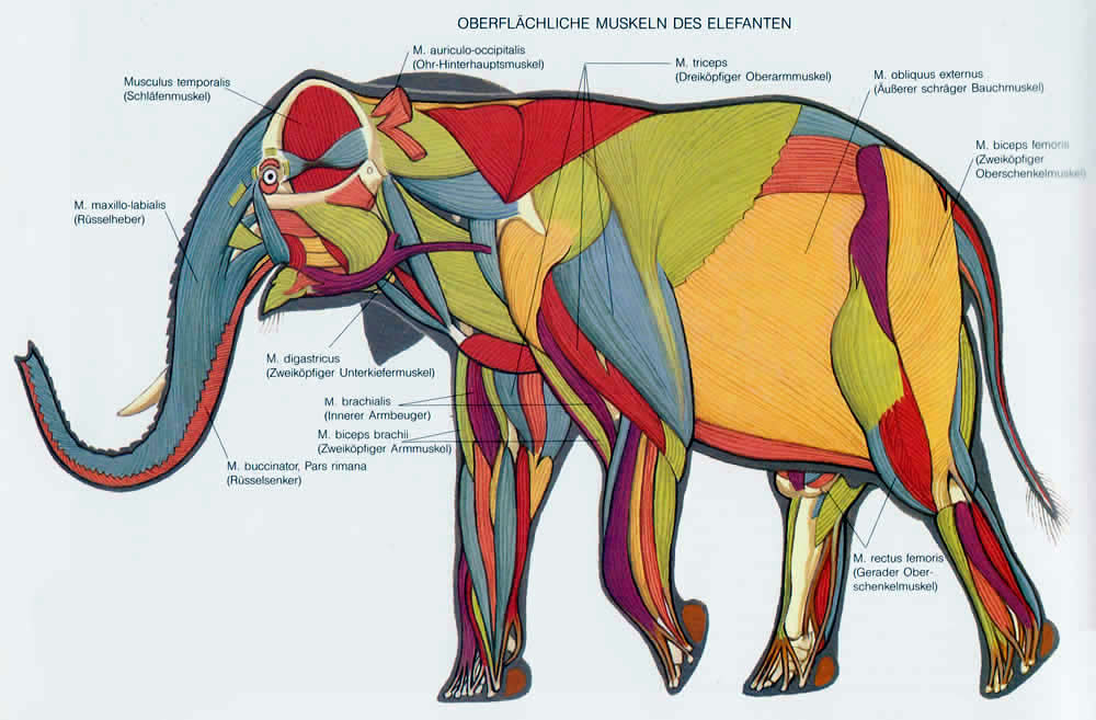 skeletal muscle diagram labeled 1999 vw beetle cooling system anatomía de los elefantes – upali.ch