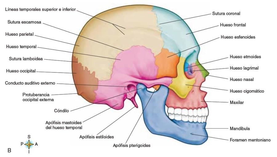 Huesos del cráneo