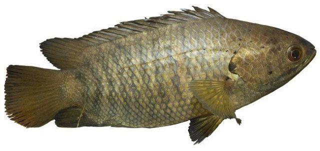 ปลาหมอ