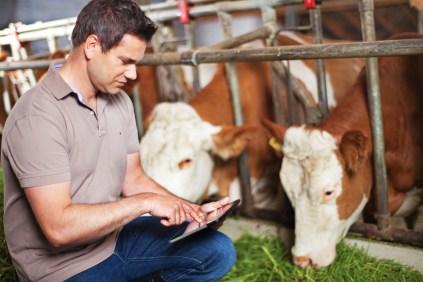 smartbow devant vaches