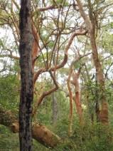 redgumbranches_arboretum_pearlbeach