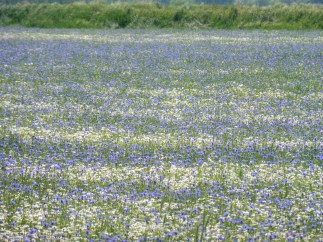 wildflowerfield2_marchfeld_may22