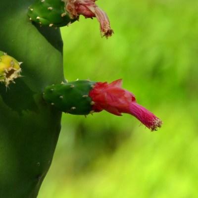 #MilagrosoNopal: ¿Por qué es el vegetal más popular de México?