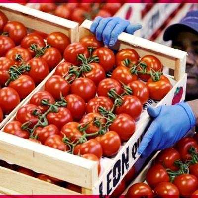 ¡Triunfo mexicano! EUA y México logran acuerdo sobre exportaciones de tomate