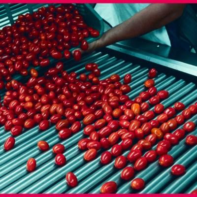 Esta es la fecha para definir el futuro del tomate mexicano en los EUA