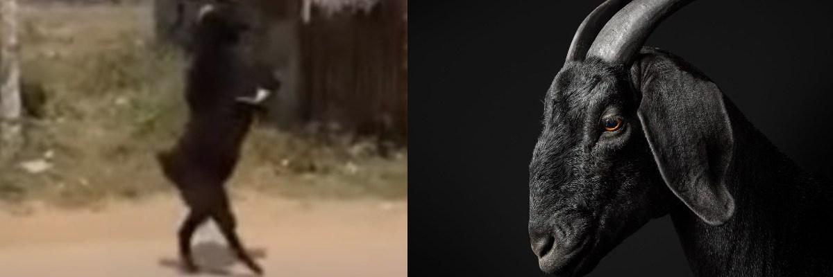 Cabra negra camina en dos patas y es videograbada