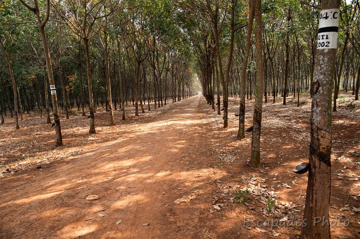Hévéas - plantation de chup - kampong cham