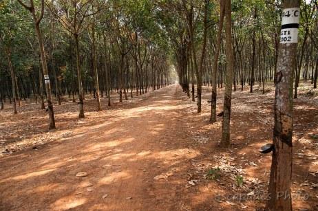 Hévéas - plantation de chup