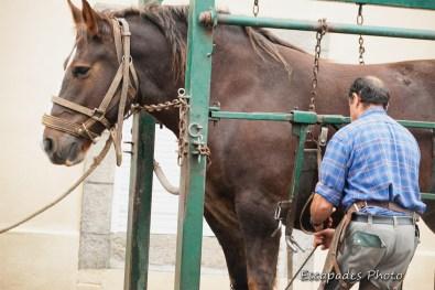 Maréchal-ferrant - fixation d'un pied de cheval