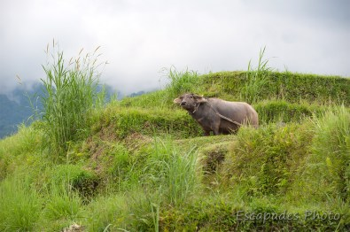jatiluwih - buffle dans la rizière