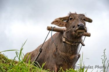 Buffle asiatique - joug de labour