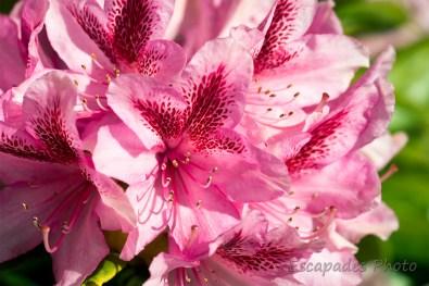 rhododendron fleur