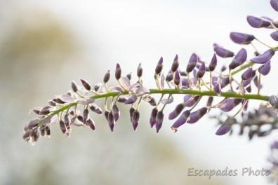 Glycine en fleur - jardin de printemps