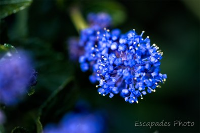 Ceanothe rampant en fleur