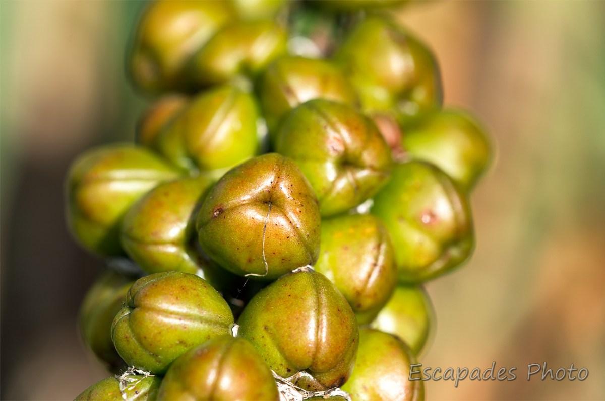 Asphodèle d'Arrondeau - capsules contenant la graine