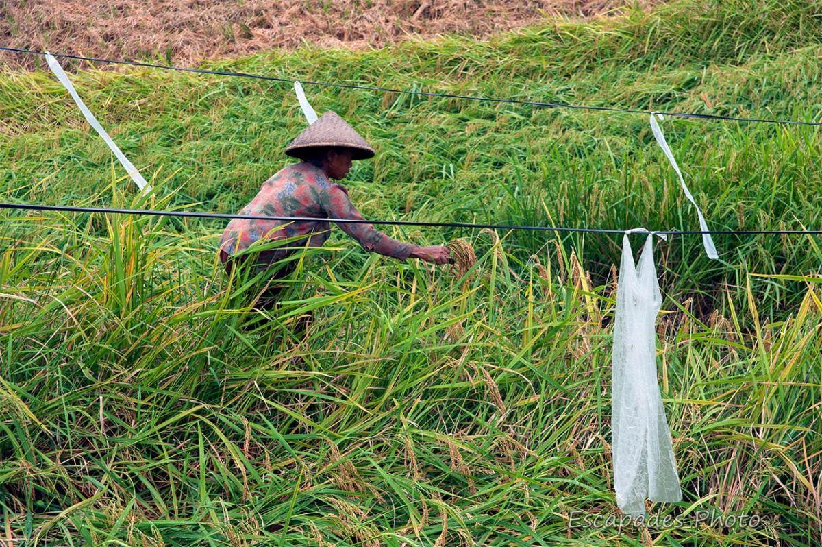Jatiluwih - fanions dans la rizière
