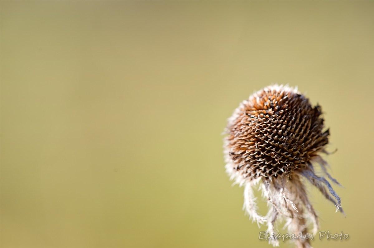 Réceptacle de Coreopsis en hiver