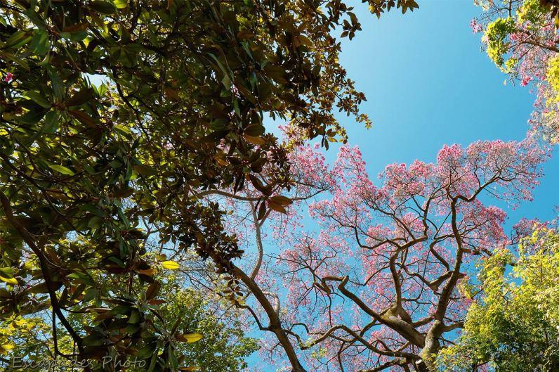 Kapokier en fleur - Lisbonne