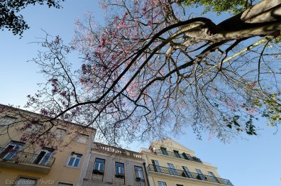 Kapokier en fleur et immeubles résidentiels à Lisbonne