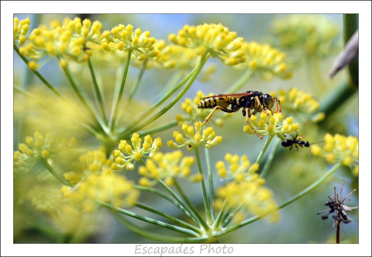 Guêpe du genre bembex et fourmi sur le fenouil commun
