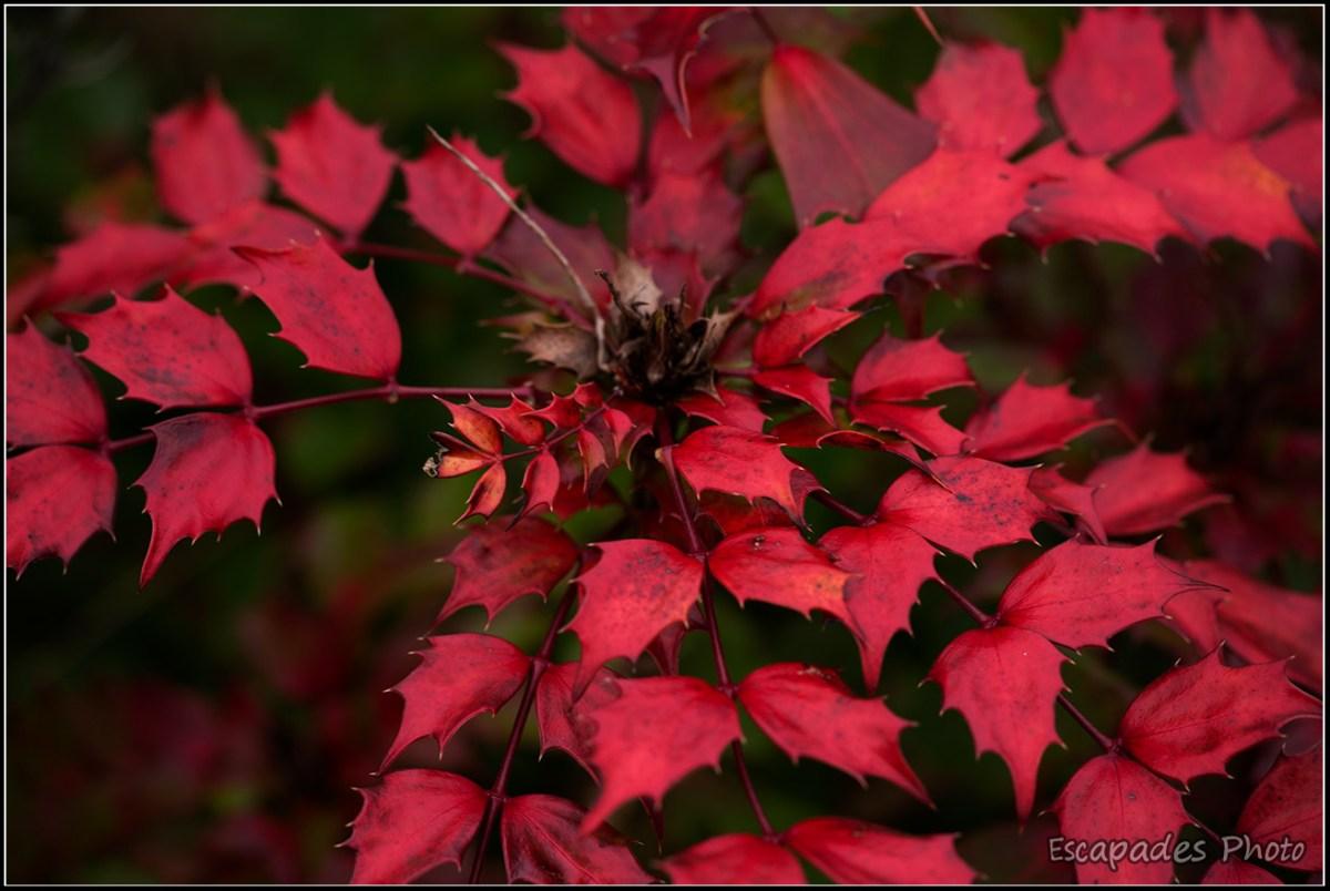 Mahonia aux feuilles pourpres