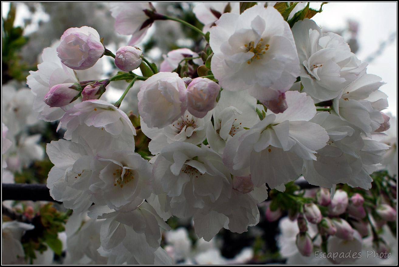 Cerisier fleur du Japon – Jardin des Plantes