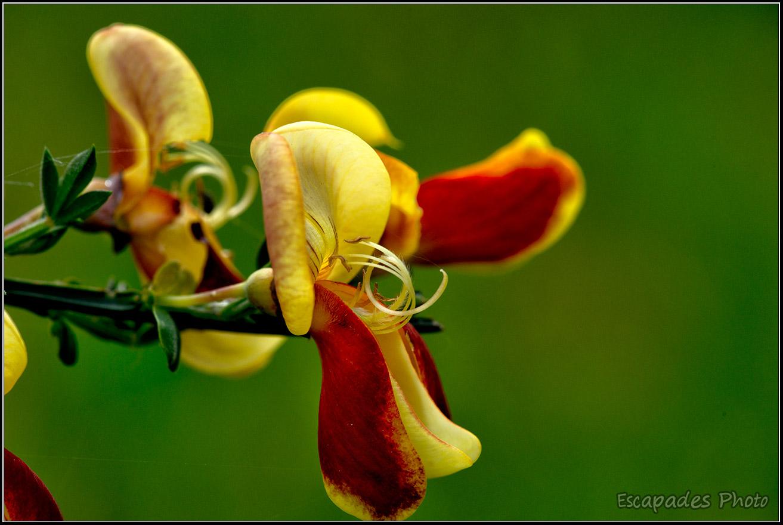 Genêt hybride Cytisus scoparius 'Andreanus'