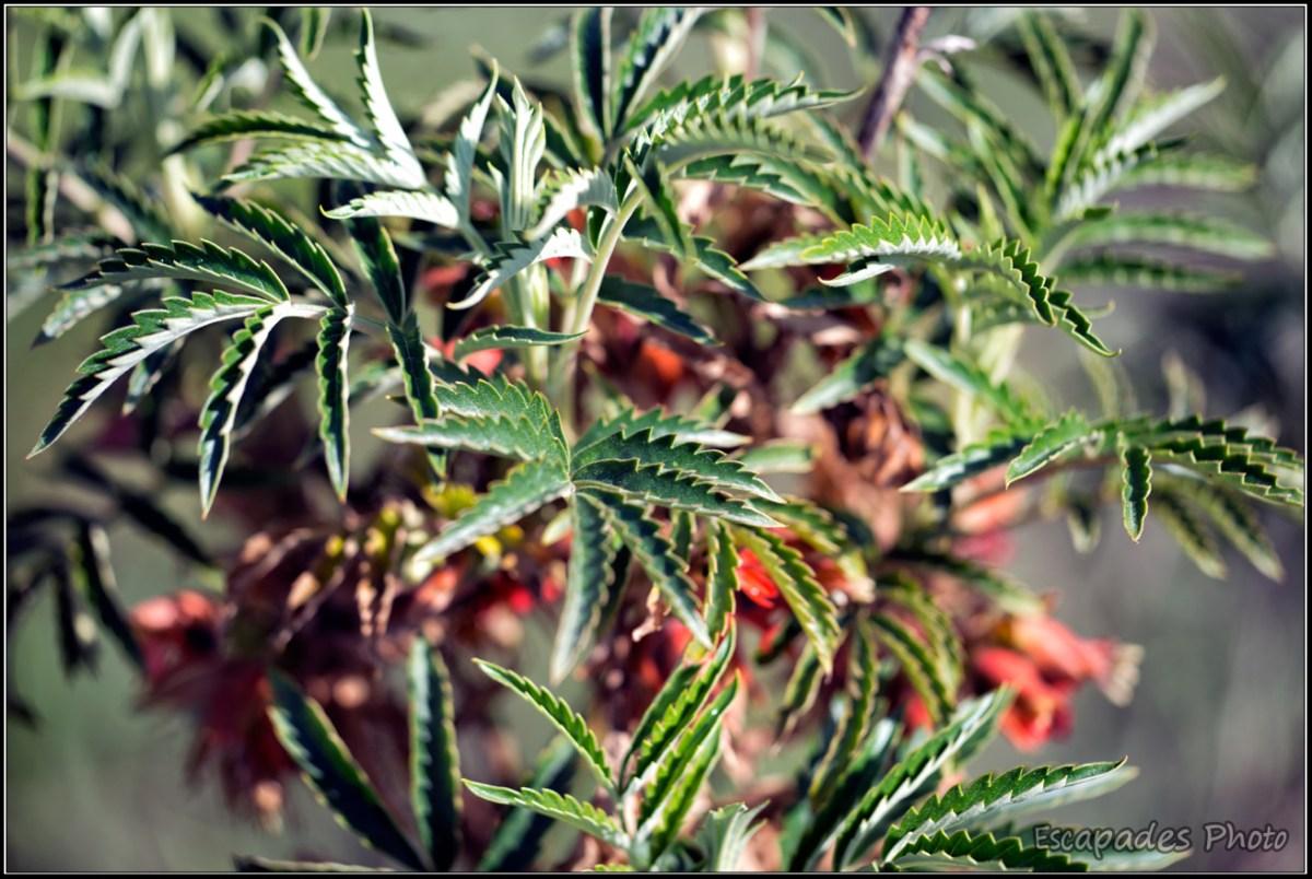 Melianthus comosus : le port buissonnant de cette belle plante
