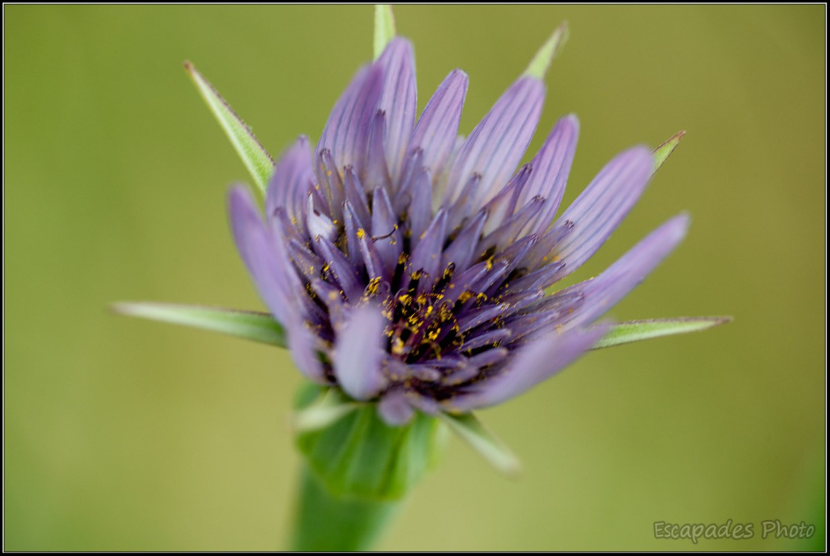 Fleur bleue du littoral breton