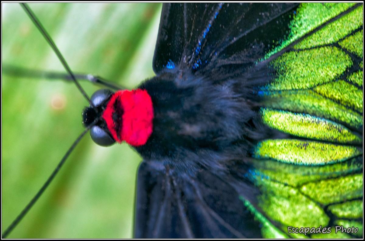 Troides brookiana - Butterfly Park Kuala Lumpur