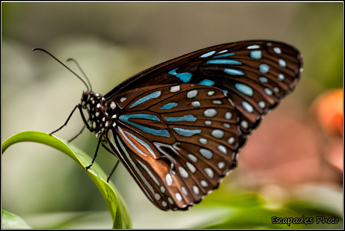 Tirumala septentrionis - Dark blue tiger