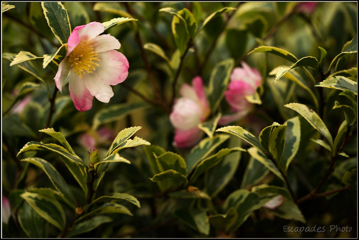 Trévarez - Camélia x hiemalis - pink goddess