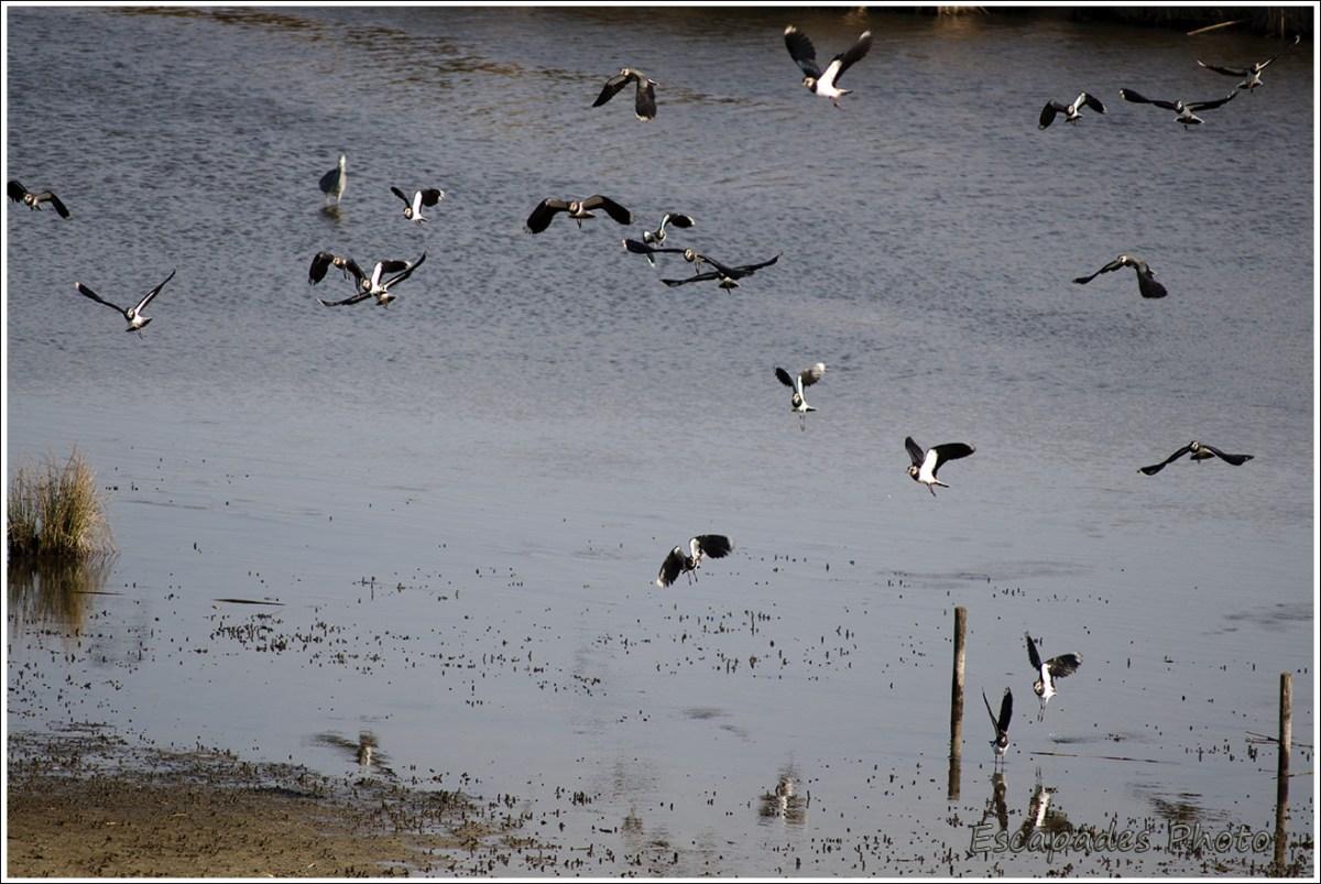 La turbulence d'une colonie de vanneaux huppés sur l'étang du Loc'h