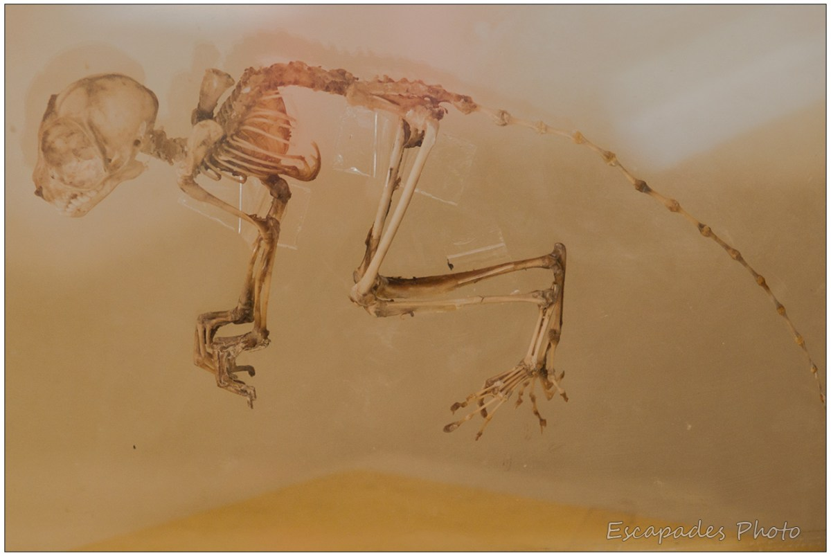 Tarsier des Philippines - squelette