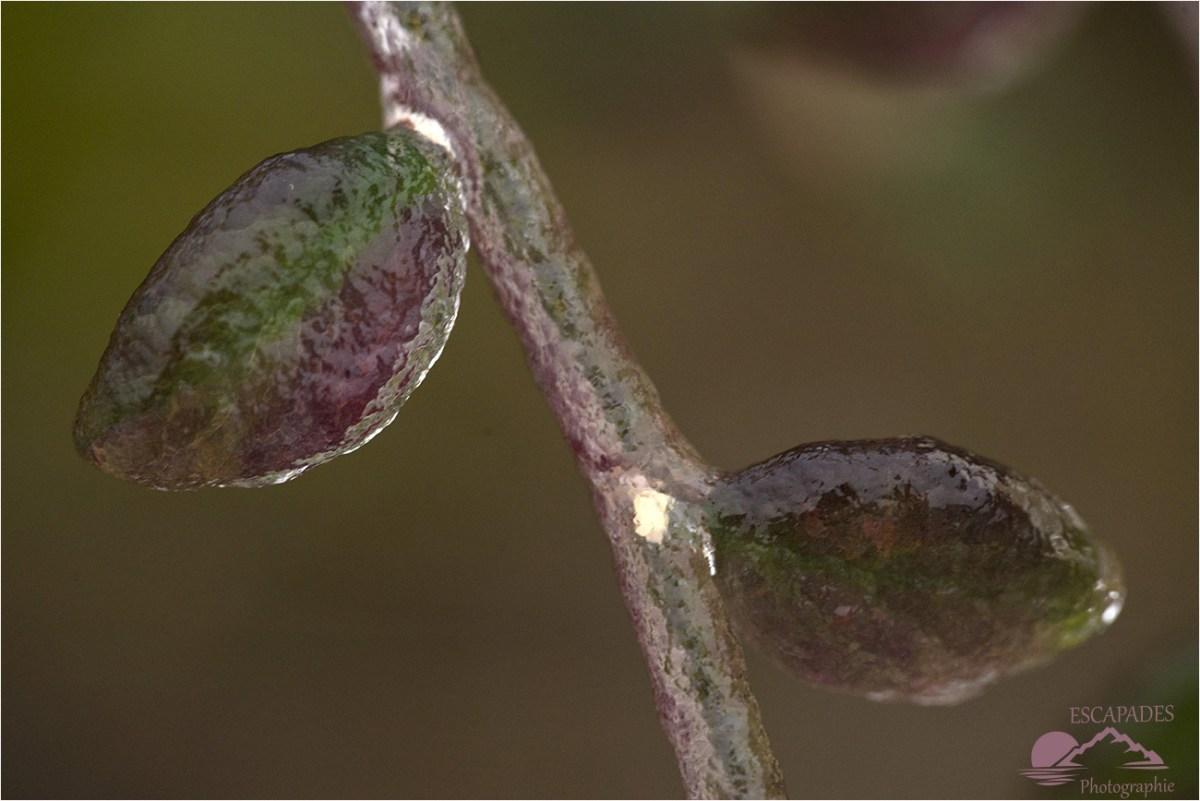 Froid en Finistère - Un cotoneaster sous givre