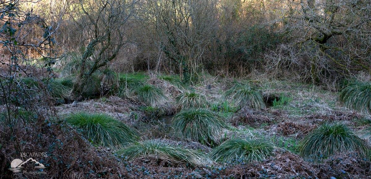Touradons de Carex paniculata
