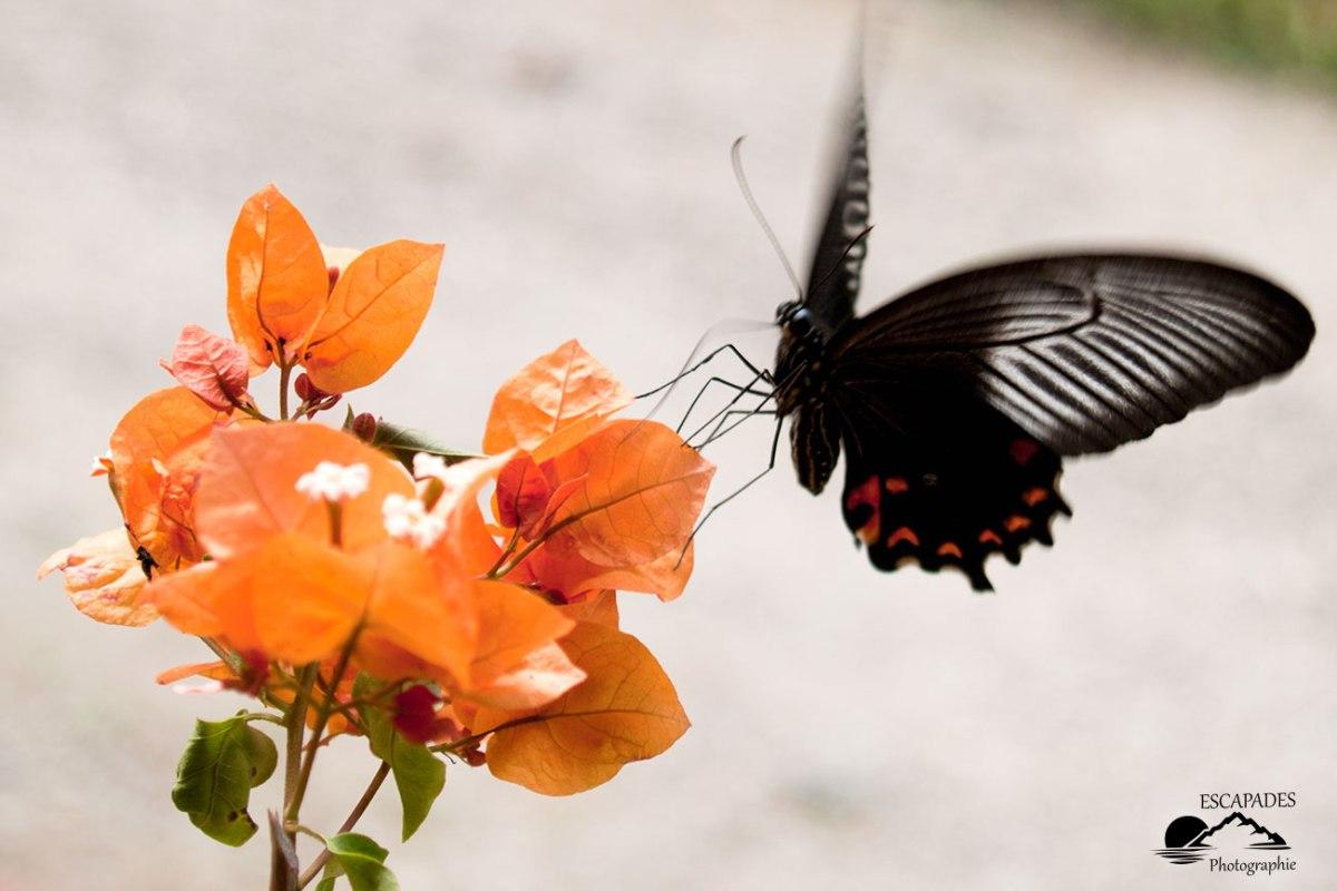 El Nido Palawan - Papilio rumanzovia