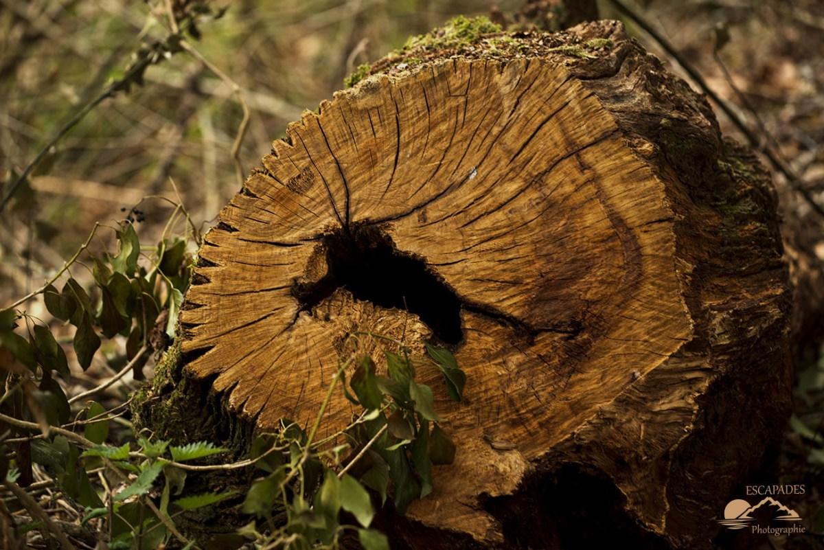 La Trinité Lanvénégen : Veinage d'un vieux chêne