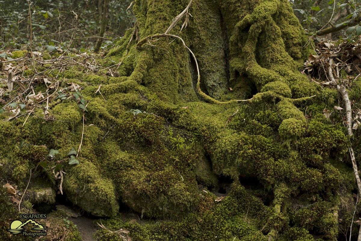 Lanvénégen, la balade de la Trinité :Le chêne moussu - sentier des moulins