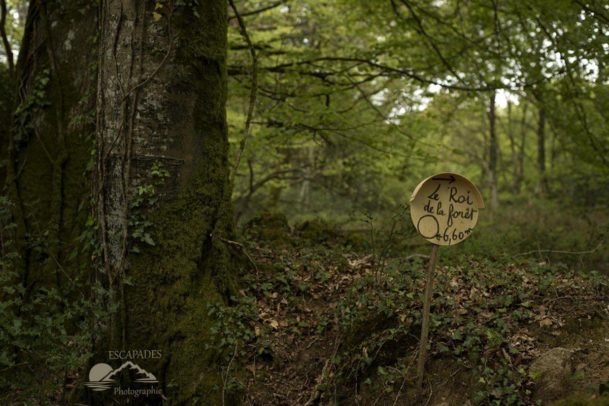 La route des moulins à Lanvénégen : Le roi de la forêt